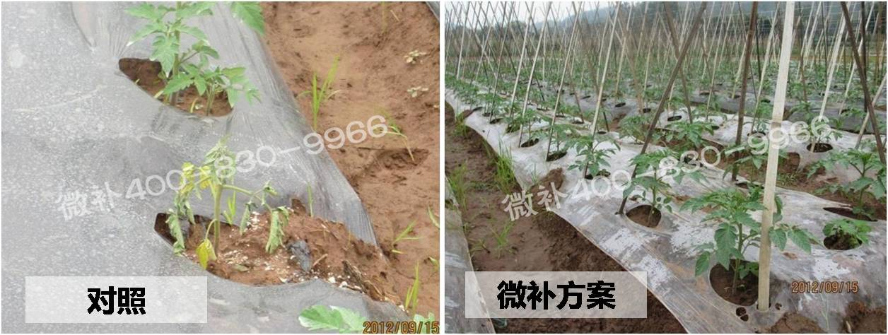 微肥课堂#蔬菜苗期死苗原因知多少?