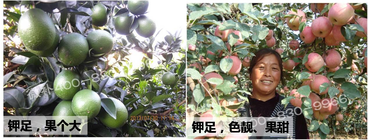 #微补讲坛#果树钾肥什么时候补最好?