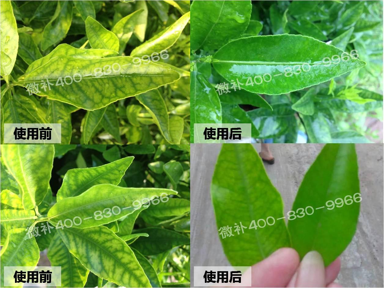 #微肥案例#柑橘小苗由黄转绿,全靠微补保树方案?