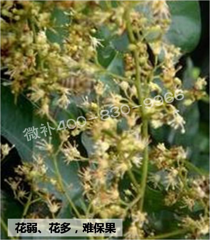 3,加强树体营养:秋梢是荔枝龙眼次年主要的结果母枝,要培养良好的