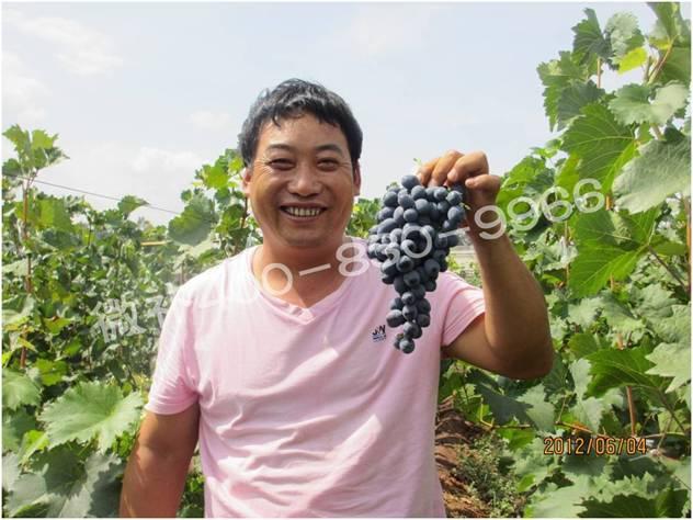 葡萄如何萌芽整齐,提高产量?