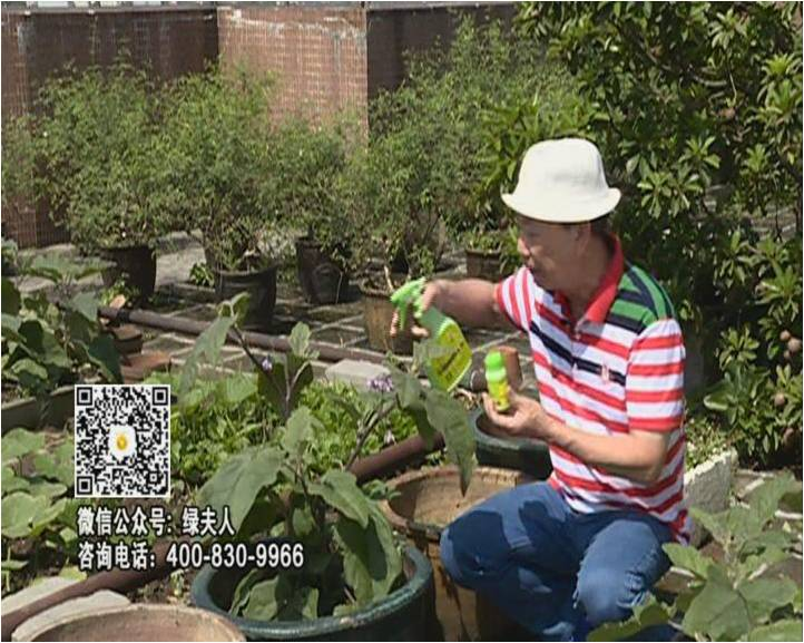 20160613珠江台摇钱树:天台种茄瓜用绿夫人,长势靓,开花结果好