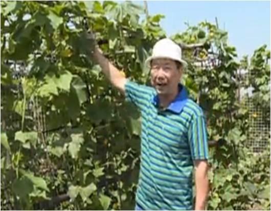 20160620珠江台摇钱树:天台蔬菜用绿夫人营养液,开花坐果好