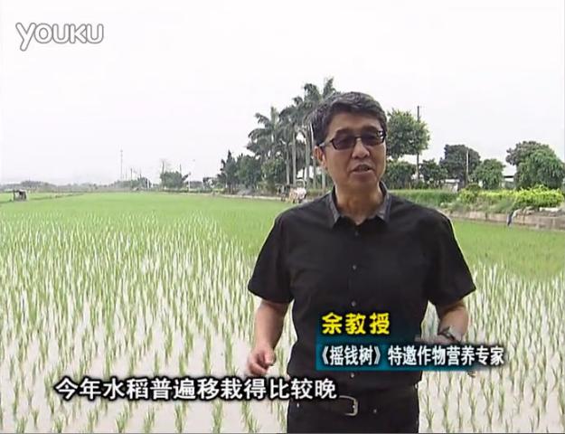 20160530珠江台摇钱树:水稻撒微补倍力、喷苗力,返青分蘖好,产量高
