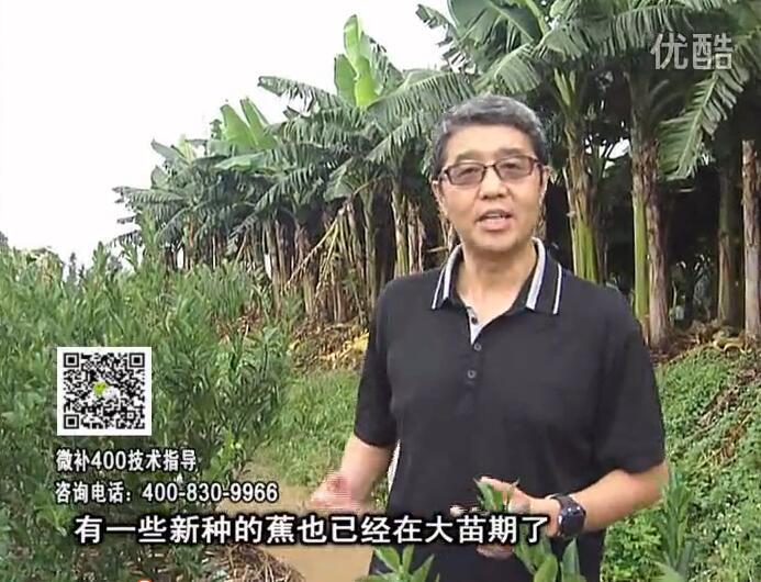 20160919珠江台摇钱树:香蕉淋微补根力钙+冲力或撒倍力,喷果力+碧力,保叶膨蕉壮长