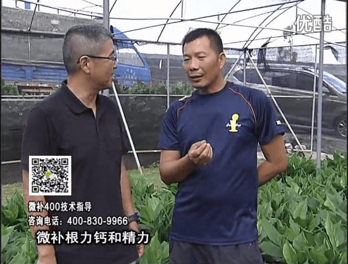 珠江台摇钱树:盆栽绿植浇施微补根力钙+精力,促根多长势青绿