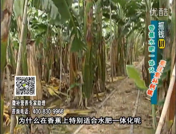 20161107珠江台摇钱树:香蕉水肥一体化,用微补方案科学施肥