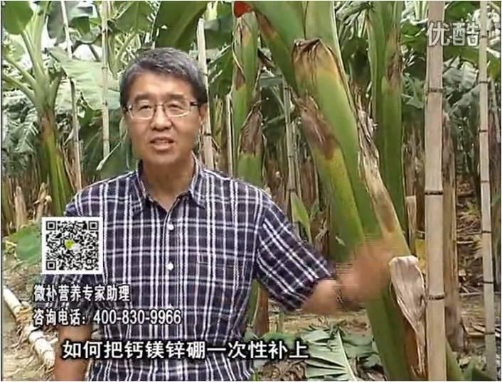 20161121珠江台摇钱树:香蕉撒施微补倍力,促根壮长、预防黄叶、提高产量