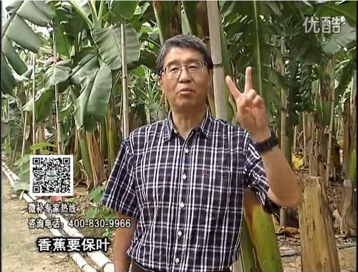 20161128珠江台摇钱树:香蕉用微补方案,预防减少黄叶、抽蕾膨蕉好