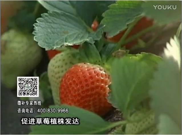 20161219珠江台摇钱树:草莓如何壮长、果大品质高?