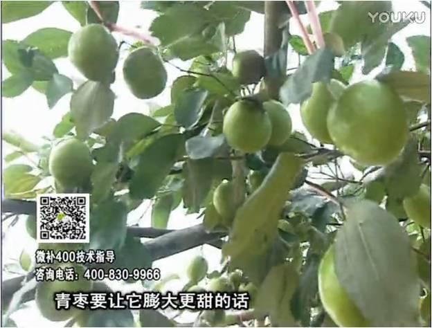 20161226珠江台摇钱树:青枣用微补方案,健壮长势,提高来花坐果