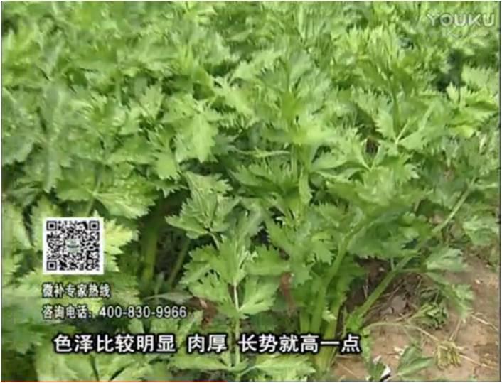 20170109珠江台摇钱树:叶菜如何种?长势好又高产!