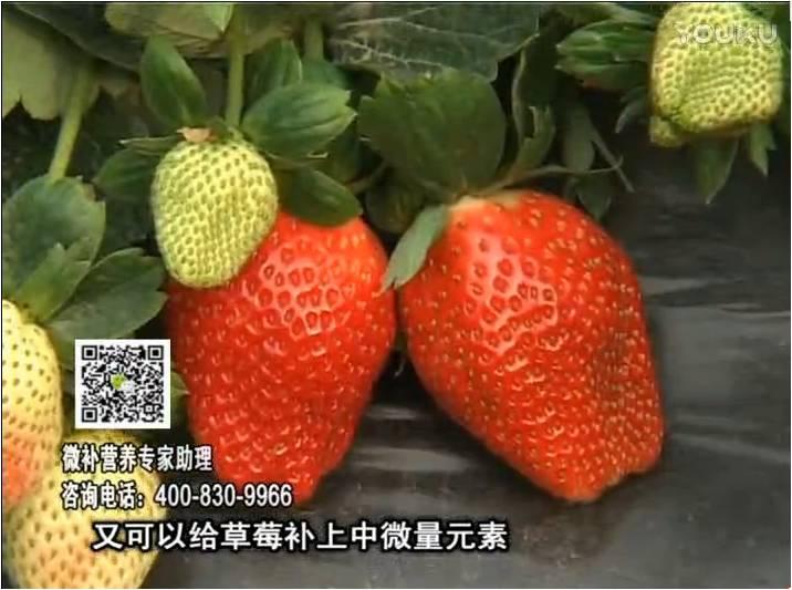 20170123珠江台摇钱树:草莓用微补方案,促根苗壮、开花坐果好
