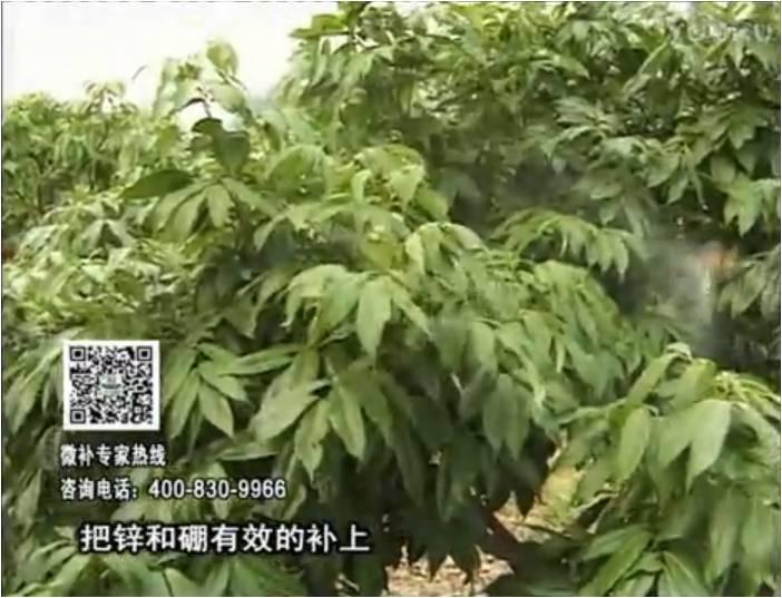20170213珠江台摇钱树:荔枝喷施微补花力+硼力,补充锌硼健壮来花