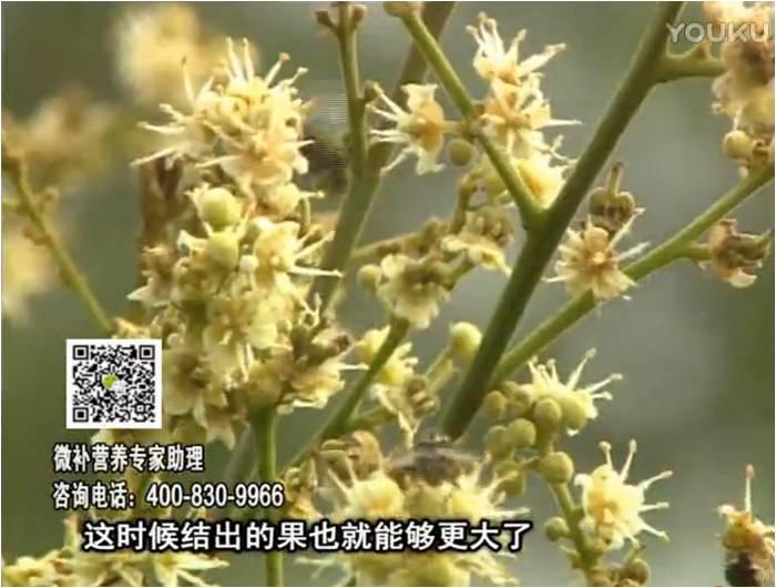 珠江台摇钱树:龙眼淋冲微补根力钙+冲力镁,促根保树