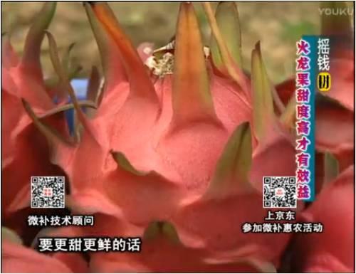 20170417珠江台摇钱树:火龙果用微补方案,开花坐果好,提高品质