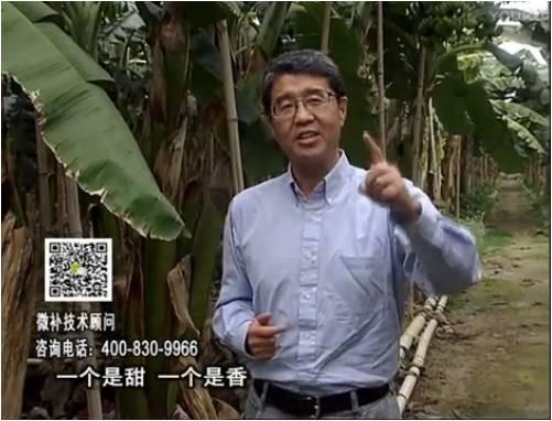 20170327珠江台摇钱树:香蕉喷施微补果力+碧力+壮力、撒微补倍力,提高品质、同时减肥提产