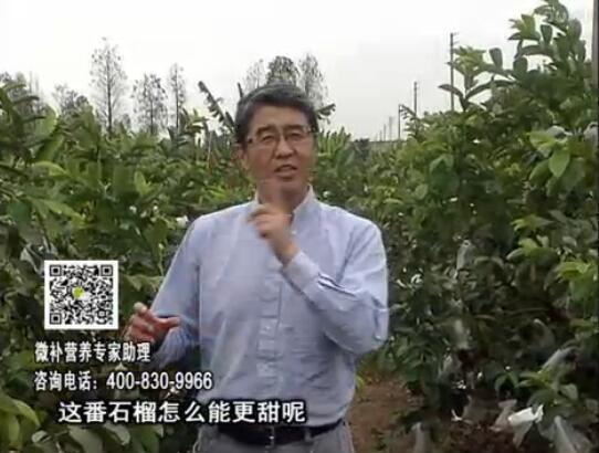 20170327珠江台摇钱树:番石榴喷施微补果力+壮力,补充磷钾钙镁等,促进果甜品质高