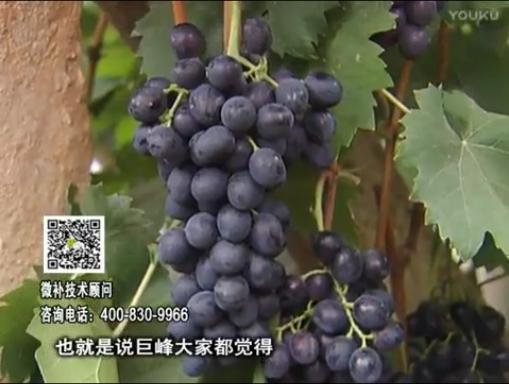 20170501珠江台摇钱树:葡萄用微补方案,品质高,卖价好