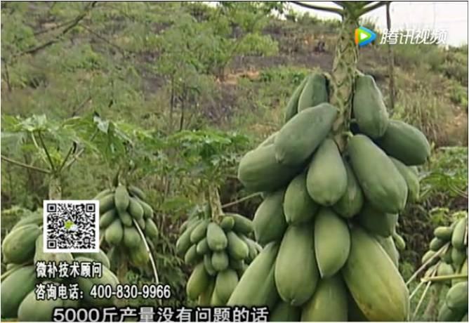 20170605珠江台摇钱树:木瓜长势好抗病增产