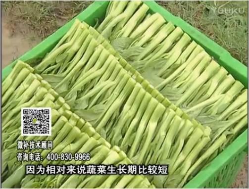 20170306珠江台摇钱树:蔬菜浇施微补根力钙+精力,提高蔬菜长势,减少病害,提高收益