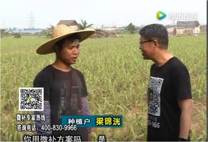珠江台摇钱树:甘蔗茎杆粗壮又增产