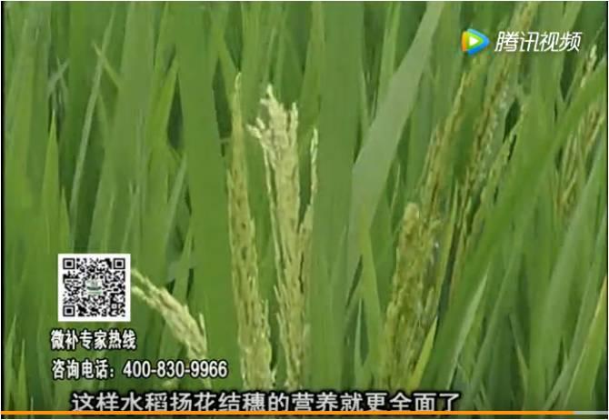 20170612珠江台摇钱树:水稻壮尾肥提高结穗率