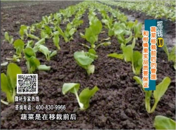 20170814珠江台摇钱树:蔬菜浇施微补,调酸促根,健壮长势