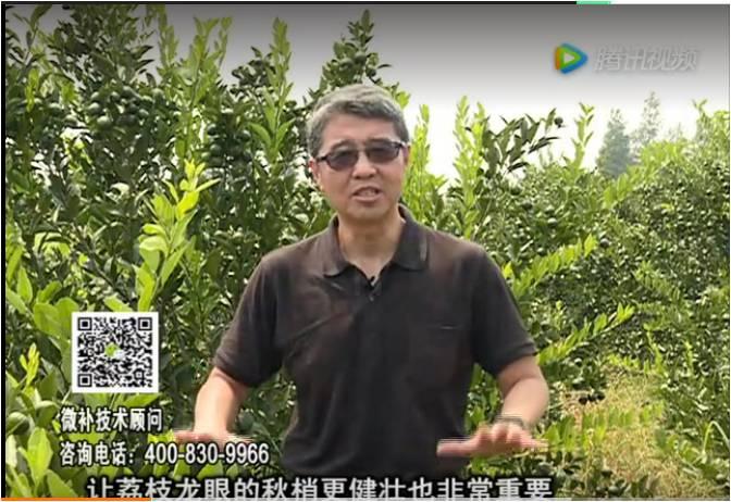 20170821珠江台摇钱树:荔枝龙眼采后恢复