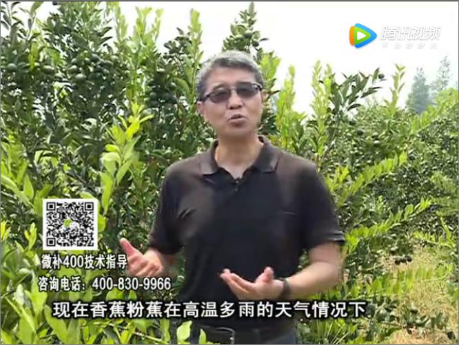 20170904珠江台摇钱树:香蕉土壤酸黄叶怎么办