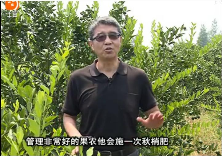 20170904珠江台摇钱树:柑橘用因迪乐,树势健壮、果品质高