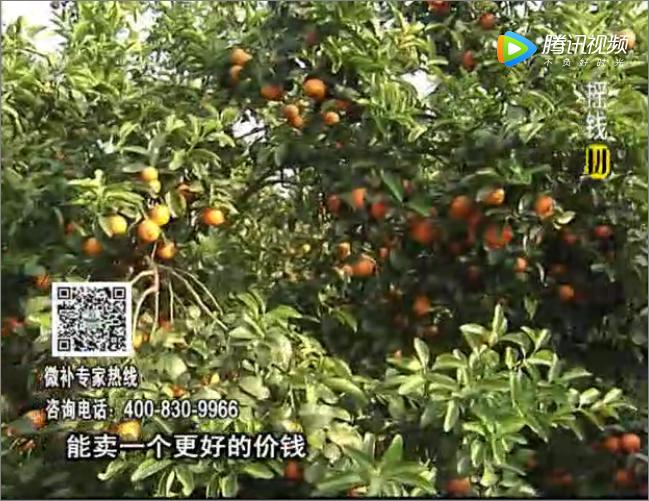 20170918珠江台摇钱树:柑橘蜜柚如何着色增甜