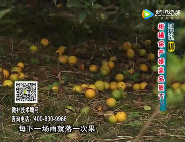 20170911珠江台摇钱树:如何预防减少柑橘落果