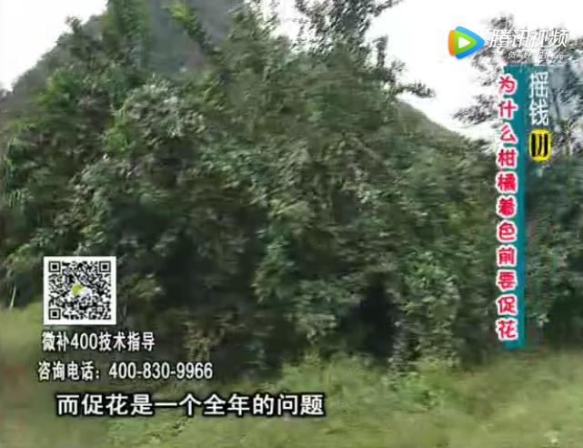 珠江台摇钱树:柑橘什么时候促花最好?