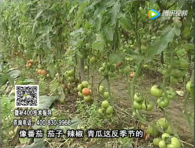 珠江台摇钱树:茄果瓜类蔬菜提高开花坐果