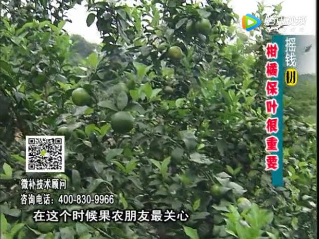 20171009珠江台摇钱树:柑橘黄叶花叶多怎么办?