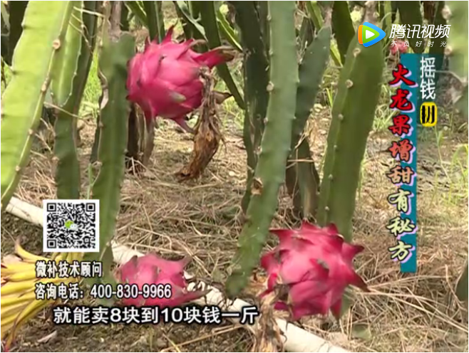 20171030珠江台摇钱树:火龙果如何提高品质
