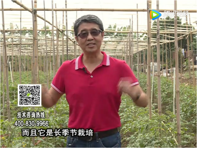 20171120珠江台摇钱树:番茄如何增产增收?