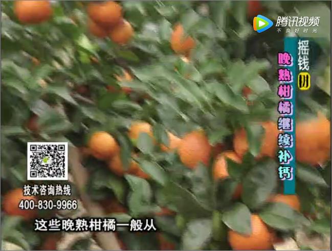 珠江台摇钱树:晚熟柑橘如何抗冻提高耐储运