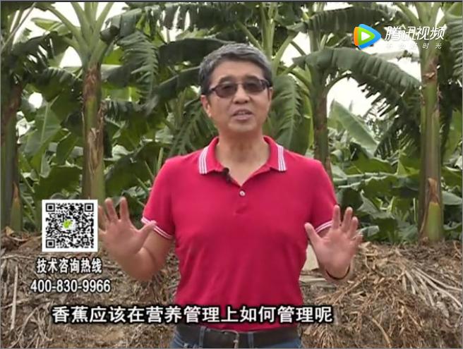 20171127珠江台摇钱树:香蕉如何减少黄叶保根壮树