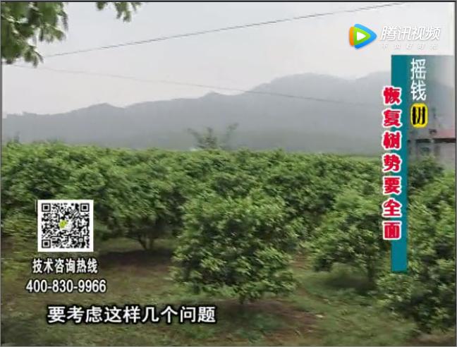 20171211珠江台摇钱树:柑橘恢复树势大寒管理