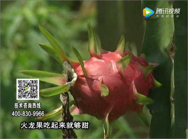 20171211珠江台摇钱树:火龙果如何管增甜品质好