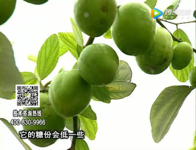 20171204珠江台摇钱树:青枣膨果增甜如何做?