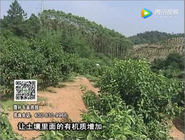 20171106珠江台摇钱树:柑橘树壮早挂果
