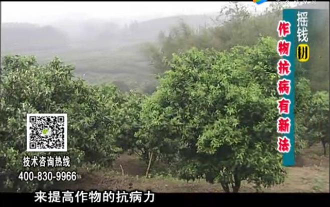 20171225珠江台摇钱树:作物如何预防减少病害发生