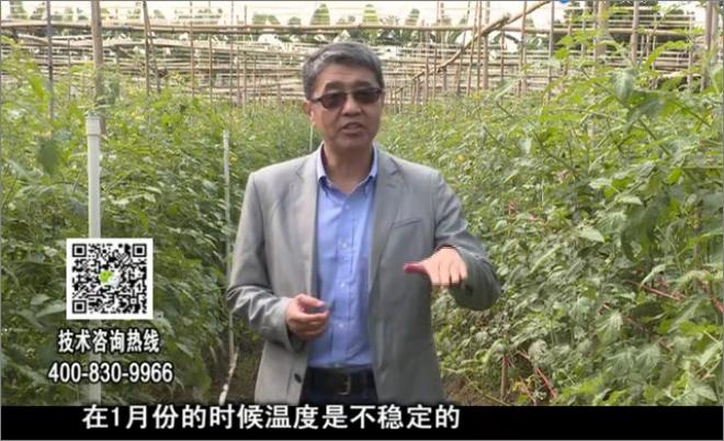 20180101珠江台摇钱树:番茄如何抗冻防青枯病
