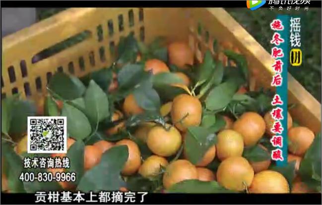 20180101珠江台摇钱树:柑橘土壤酸化怎么办?