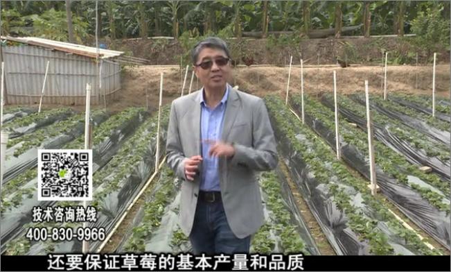 20180108珠江台摇钱树:草莓苗弱膨果增甜如何做?