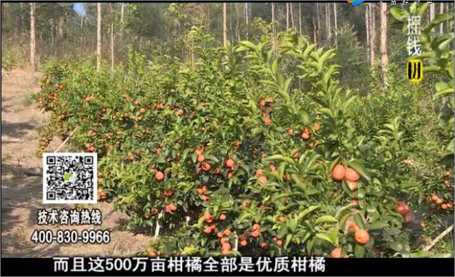 20180115珠江台摇钱树:广西柑橘微补全年管理树壮增产