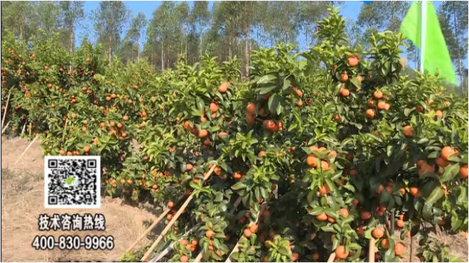 20180129珠江台摇钱树:柑橘种出品质果、采后如何管理?